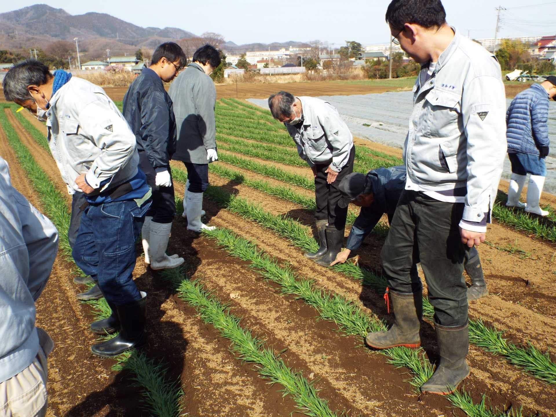 「農福連携」平塚産のカオリ小麦を麦ふみ!