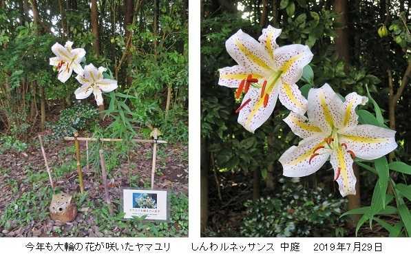「かなユリ・チャレンジ」プロジェクト ~ 今年もヤマユリが咲きました! ~